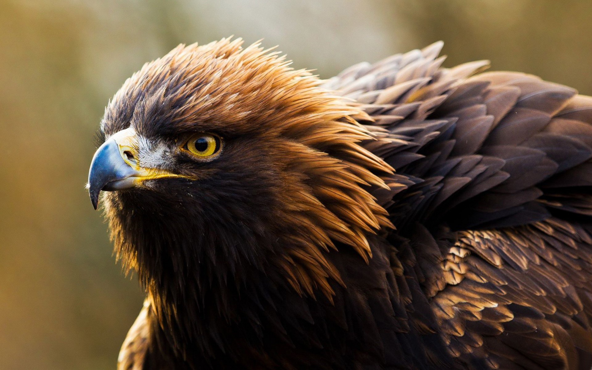 Hawk full hd wallpaper and background image 1920x1200 - Hawk iphone wallpaper ...