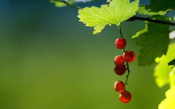 Alimento - Currant Wallpapers and Backgrounds ID : 346040