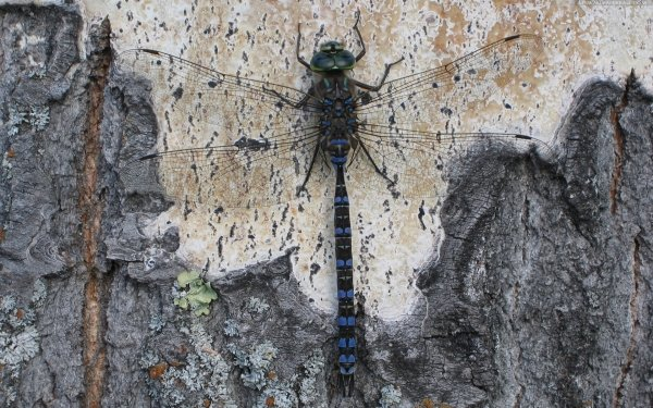 Animal Dragonfly Insects Insect HD Wallpaper | Background Image