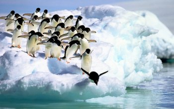 Animal - Penguin Wallpapers and Backgrounds ID : 347340