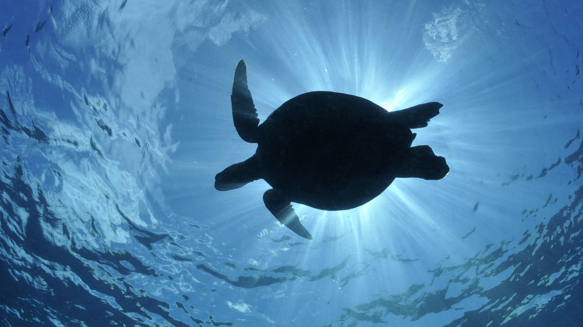 Turtle Full HD Wallpaper And Background Image