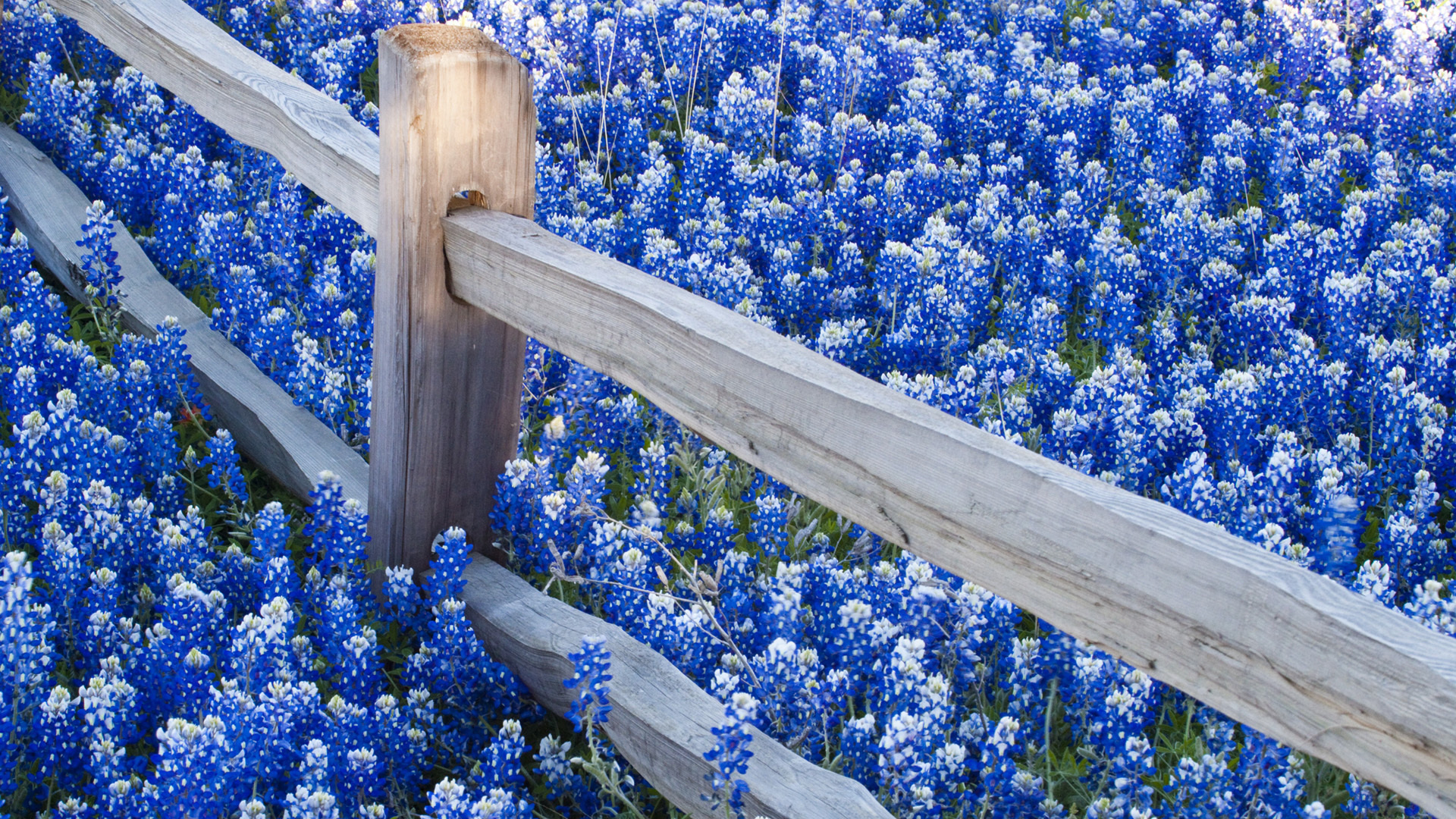 texas bluebonnets full hd wallpaper and background image | 1920x1080