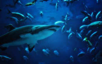 Animal - Shark Wallpapers and Backgrounds ID : 349087