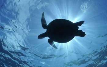 Animal - Turtle Wallpapers and Backgrounds ID : 349175