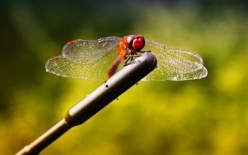 Animal - Dragonfly Wallpapers and Backgrounds ID : 349725