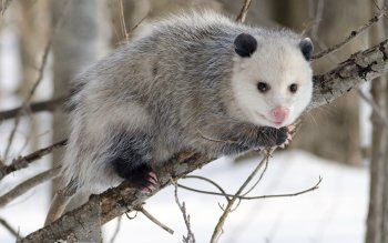 Животные - Opossum Wallpapers and Backgrounds ID : 350922