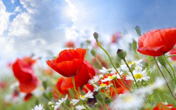 Earth Flower Flowers Poppy HD Wallpaper | Background Image
