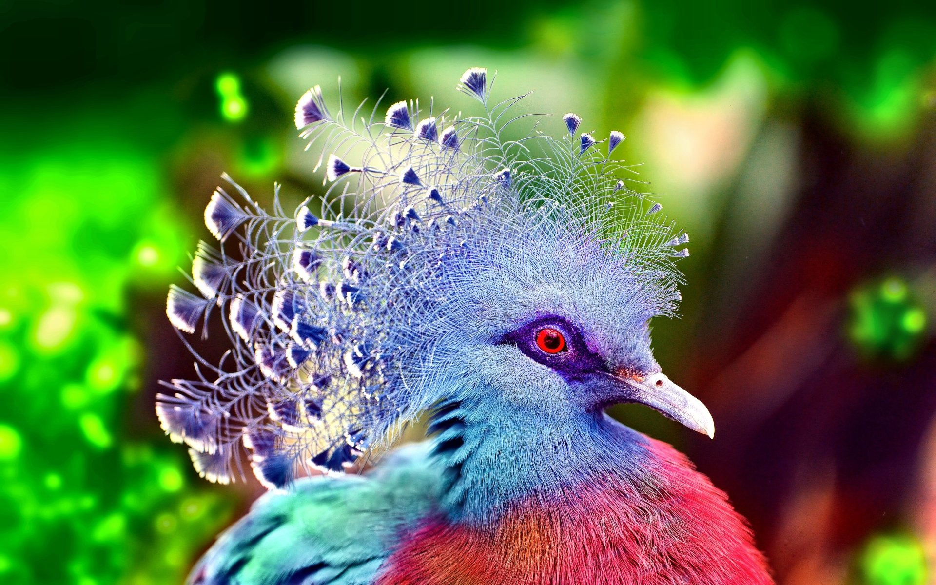 Animal - Victoria Crowned Pigeon  Bird Pigeon Colorful Wallpaper