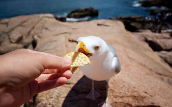 Animalia - Seagull Wallpapers and Backgrounds ID : 351112