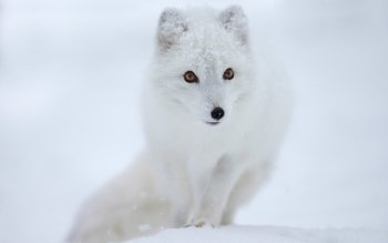 Animal - Arctic Fox Wallpapers and Backgrounds ID : 351115