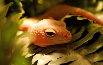 Animal - Gecko Wallpapers and Backgrounds ID : 351319