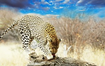 Animalia - Leopard Wallpapers and Backgrounds ID : 351370