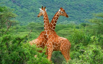 Animal - Giraffe Wallpapers and Backgrounds ID : 351426