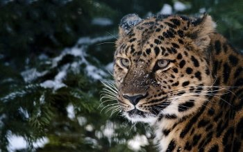 Animalia - Leopard Wallpapers and Backgrounds ID : 352199