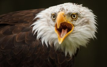 Animal - Eagle Wallpapers and Backgrounds ID : 353041