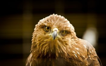 Animal - Eagle Wallpapers and Backgrounds ID : 353115