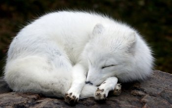 Animal - Arctic Fox Wallpapers and Backgrounds ID : 353448