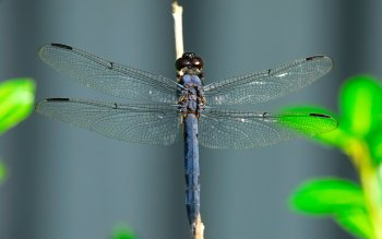 Dierenrijk - Dragonfly Wallpapers and Backgrounds ID : 353625