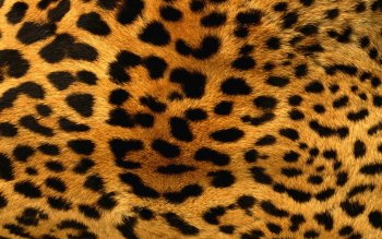 Animalia - Leopard Wallpapers and Backgrounds ID : 356680