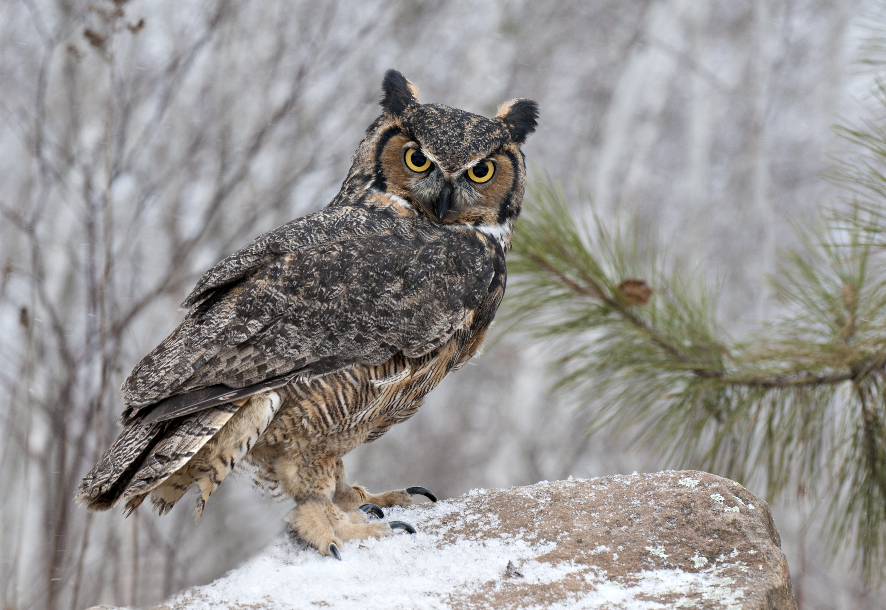 great horned owl hd wallpaper background image