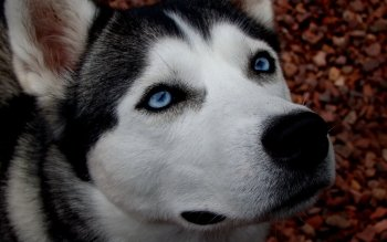 Animal - Husky Wallpapers and Backgrounds ID : 357668