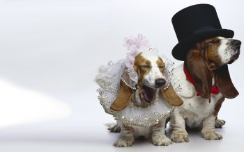 Animal - Basset Hound Wallpapers and Backgrounds ID : 358998