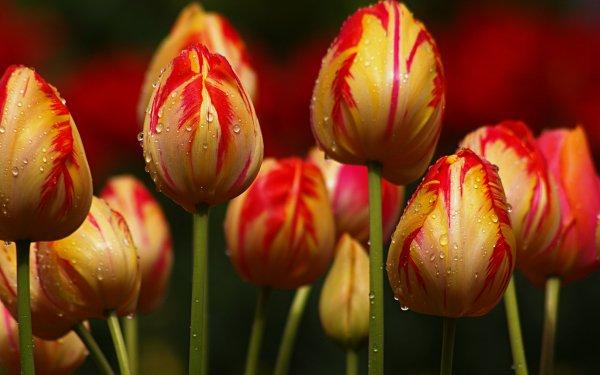 Terra/Natura Tulipano Fiori Natura Macro HD Wallpaper | Sfondo