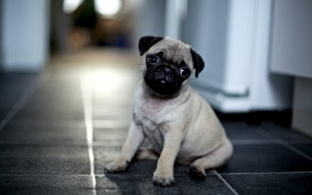 Animal - Pug Wallpapers and Backgrounds ID : 359122