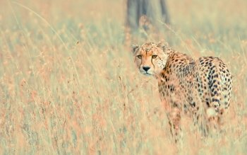 Djur - Cheetah Wallpapers and Backgrounds ID : 359663
