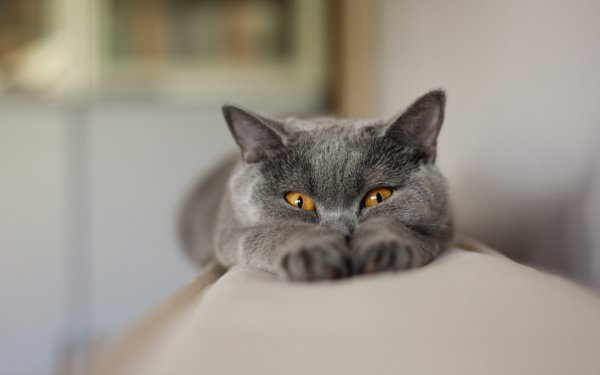Animal Cat Cats Chartreux Funny Gray HD Wallpaper | Background Image