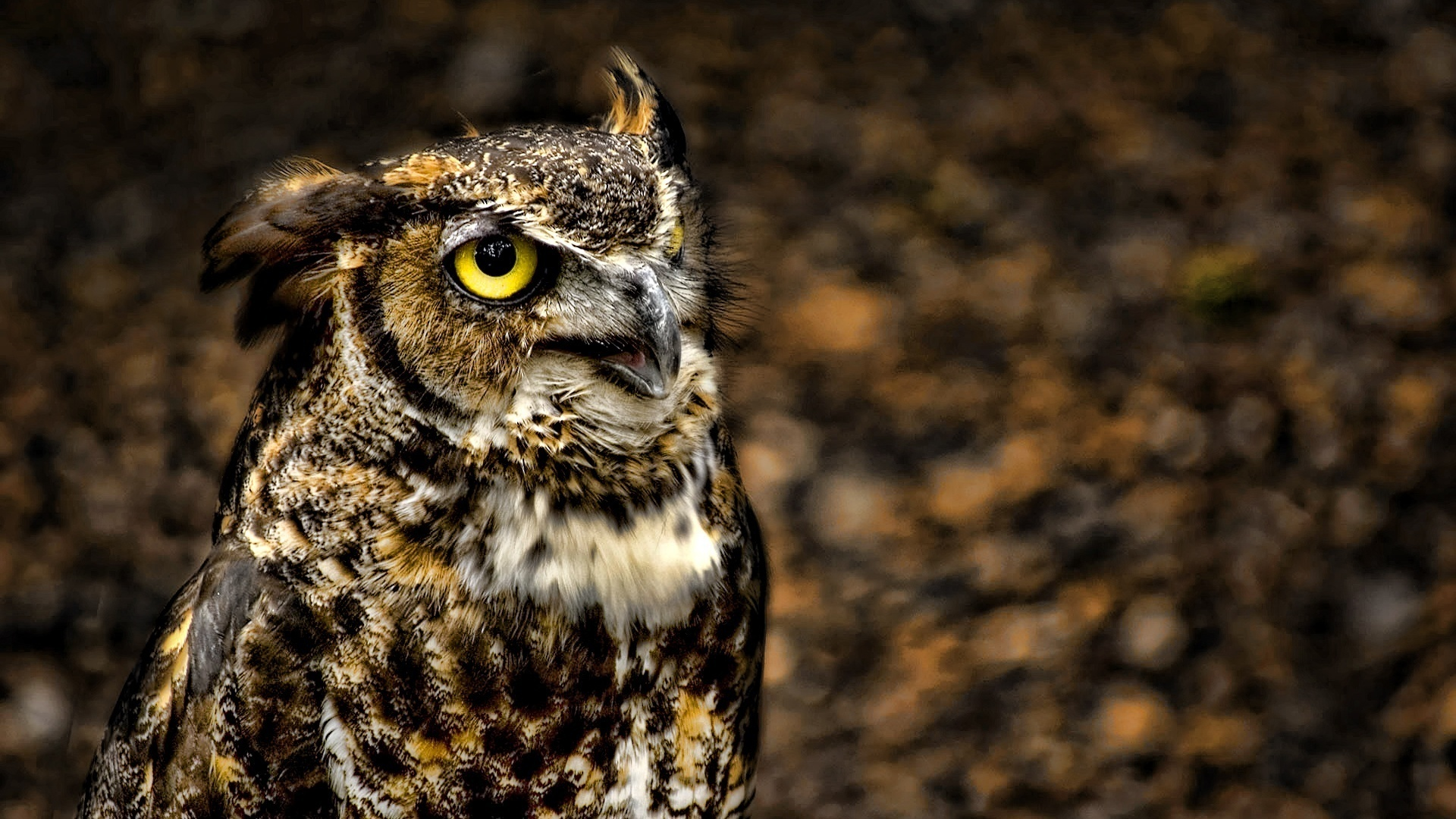 hd great horned owl - photo #5