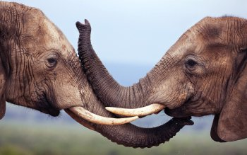 Animal - Elephant Wallpapers and Backgrounds ID : 360334
