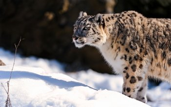 Dierenrijk - Snow Leopard Wallpapers and Backgrounds ID : 361680