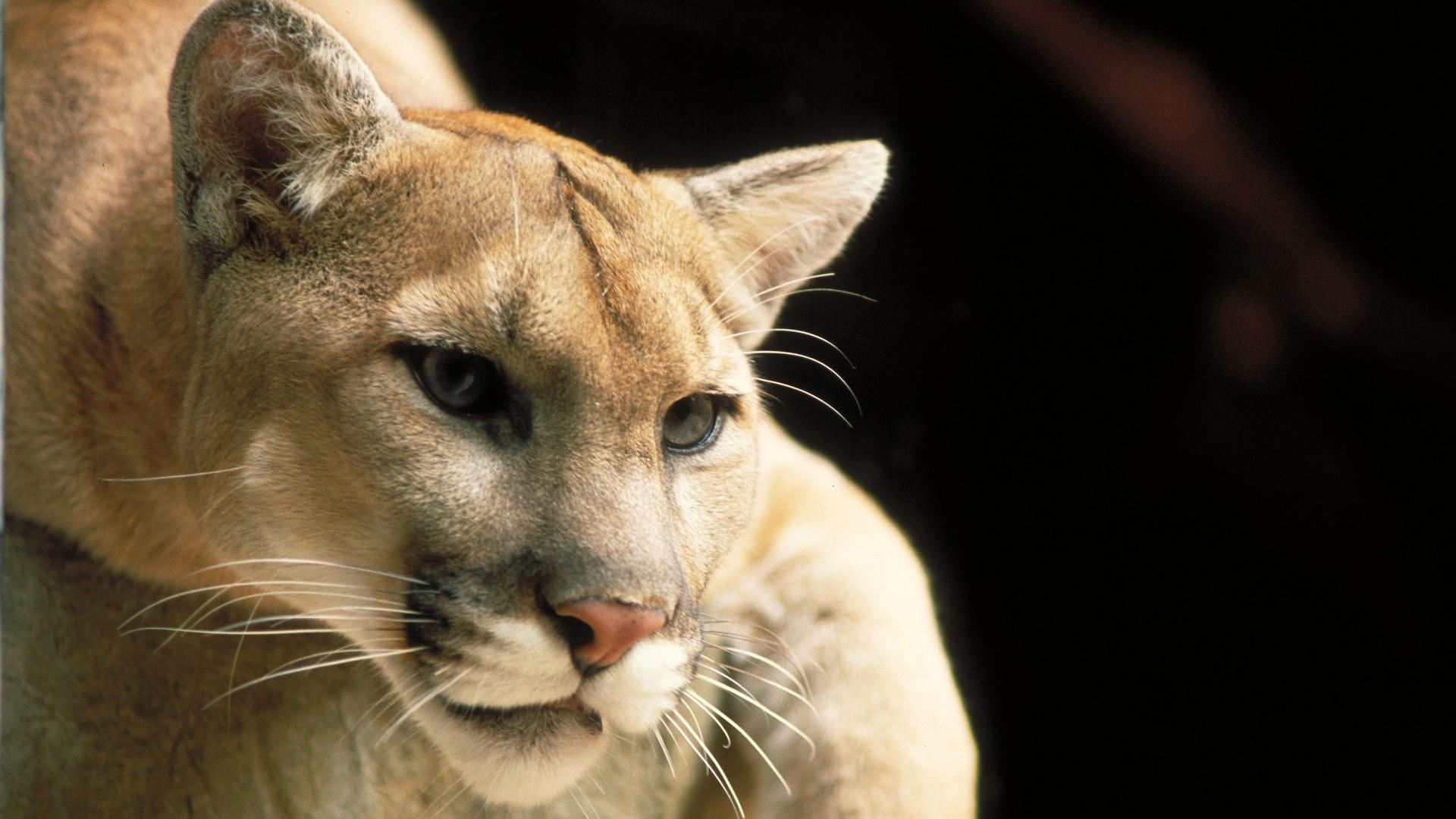 Cougar Hd Wallpaper Background Image 1920x1080 Id 362951