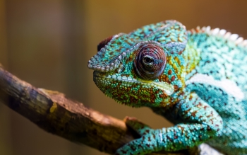 Animal - Chameleon Wallpapers and Backgrounds ID : 362337