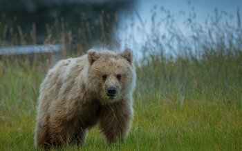 Animal - Bear Wallpapers and Backgrounds ID : 362640