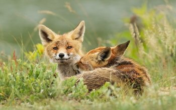 Animal - Fox Wallpapers and Backgrounds ID : 362696