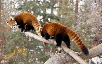 Animal - Red Panda Wallpapers and Backgrounds ID : 363077