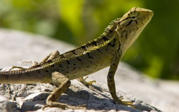 Animal - Iguana Wallpapers and Backgrounds ID : 363954