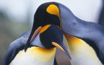 Dierenrijk - Emperor Penguin Wallpapers and Backgrounds ID : 364813