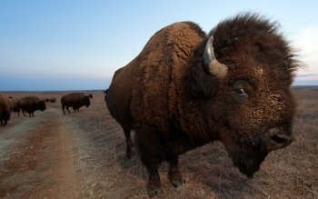 Animal - Buffalo Wallpapers and Backgrounds ID : 364929