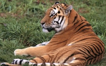 Animal - Tiger Wallpapers and Backgrounds ID : 364962