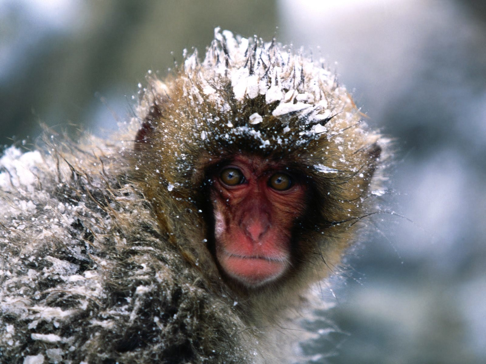 Japanese Macaque Wallpaper And Background Image 1600x1200 Id Images, Photos, Reviews