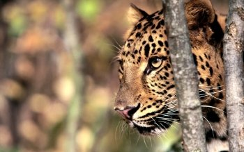 Animal - Leopard Wallpapers and Backgrounds ID : 365028