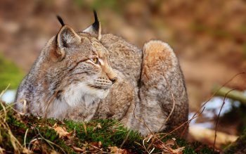 Tier - Lynx Wallpapers and Backgrounds ID : 365128