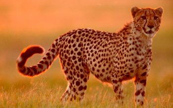 Animal - Cheetah Wallpapers and Backgrounds ID : 365228