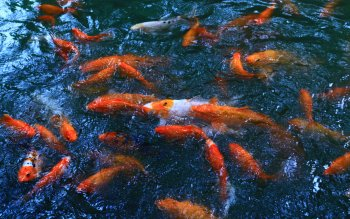 32 koi hd wallpapers background images wallpaper abyss - Carp wallpaper iphone ...