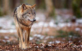 Dierenrijk - Wolf Wallpapers and Backgrounds ID : 366726