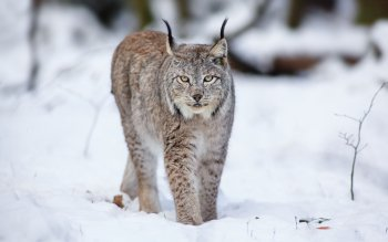 Animal - Lynx Wallpapers and Backgrounds ID : 366887