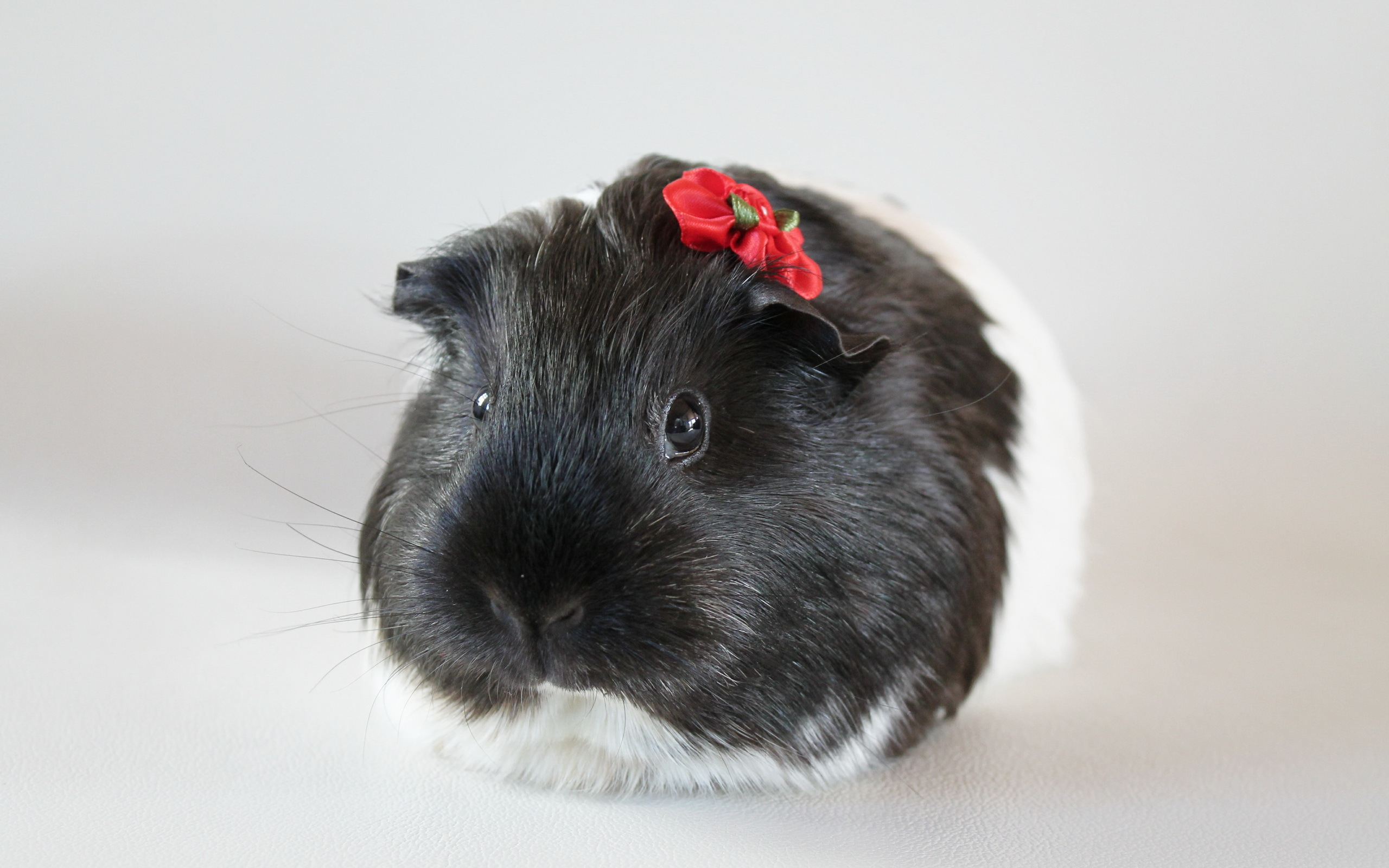 guinea pig computer wallpapers desktop backgrounds